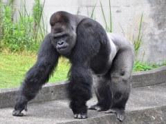 東山動物園のイケメンゴリラ「シャバーニ」が気になる!