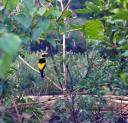 Regent Bowerbird, Queensland