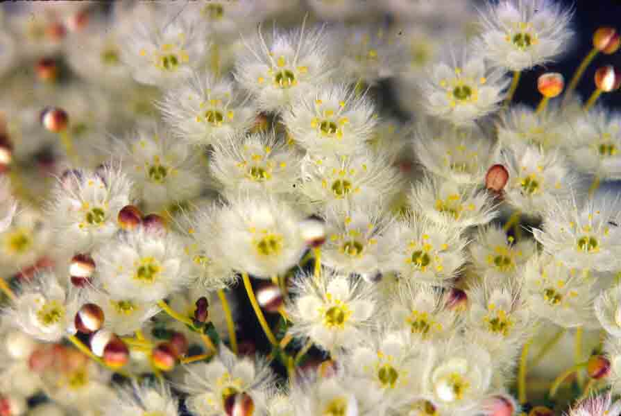 Featherflower (Verticordia)