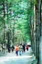 Nami Island's Korean Pine Tree Lane