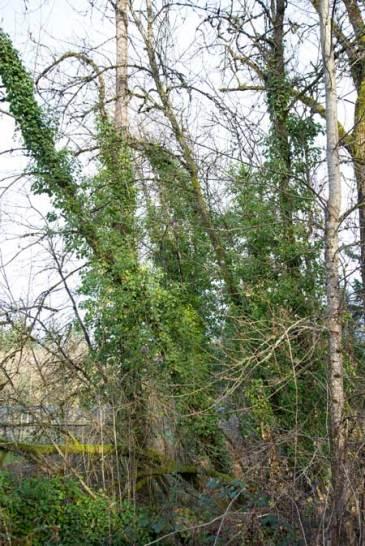 English Ivy chokes trees to death