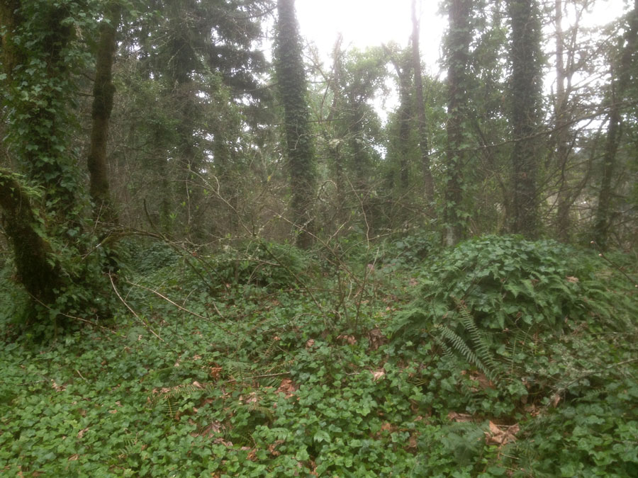 Ivy Crowds out Native Species