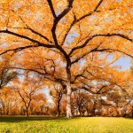 Autumn Foliage Tree L, WAM Partners