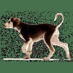 犬種図鑑:サルーキ/Saluki
