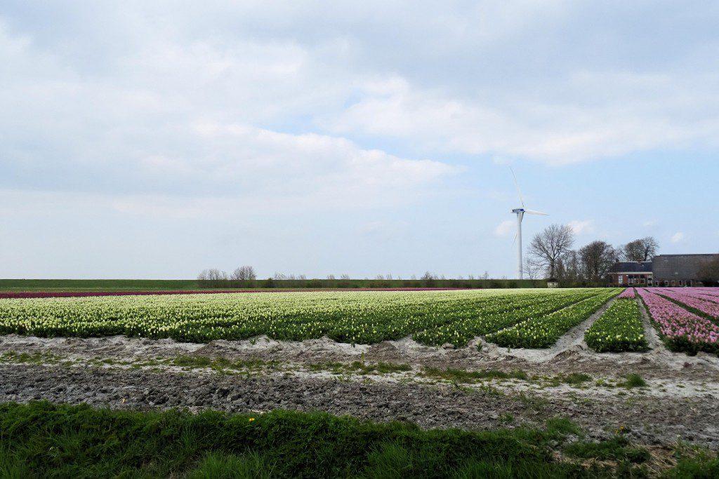 Kloosterburen tulpenvelden Groningen