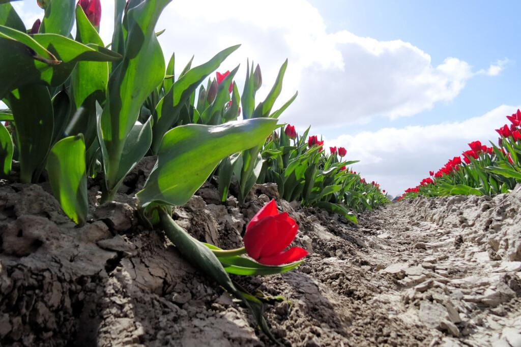 tulpenvelden Garsthuizen Groningen