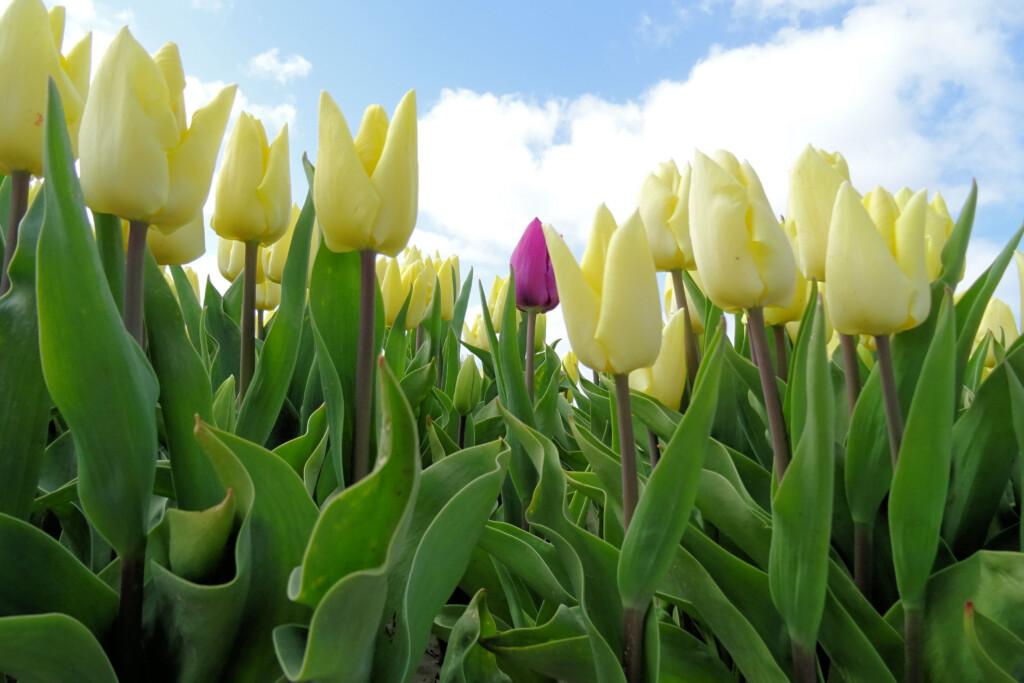 tulpenveld Valom Groningen