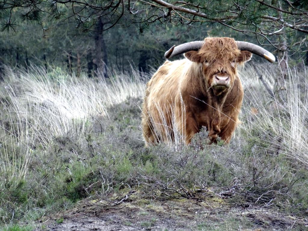 Eindeloze Veluwetocht Schotse Hooglander