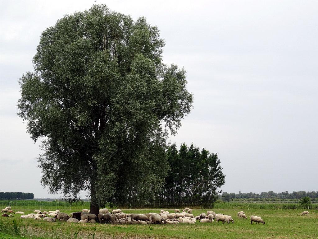 Mooiste wandeling Flevoland - NS-Wandeling Oostvaardersplassen - Schaapskudde Almere