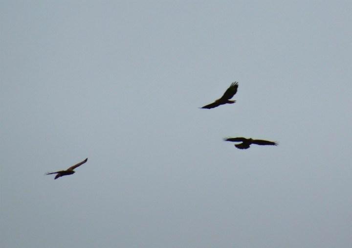 Roofvogels langs Klompenpad Eendenkooienpad