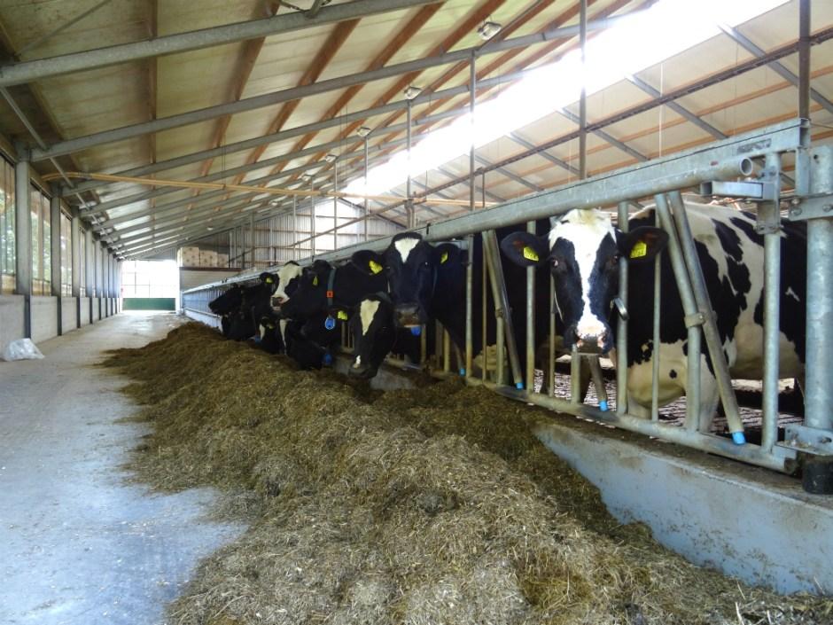 Omtrek van Amersfoort - koeien