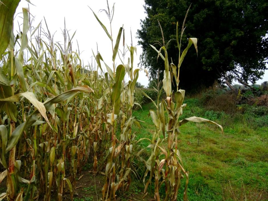 Smal pad langs maisveld - Trage Tocht Rhenen