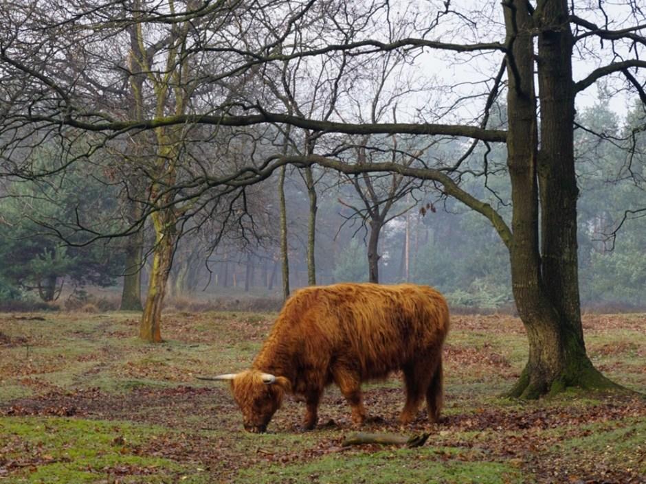 Schotse Hooglanders grazen hier ook