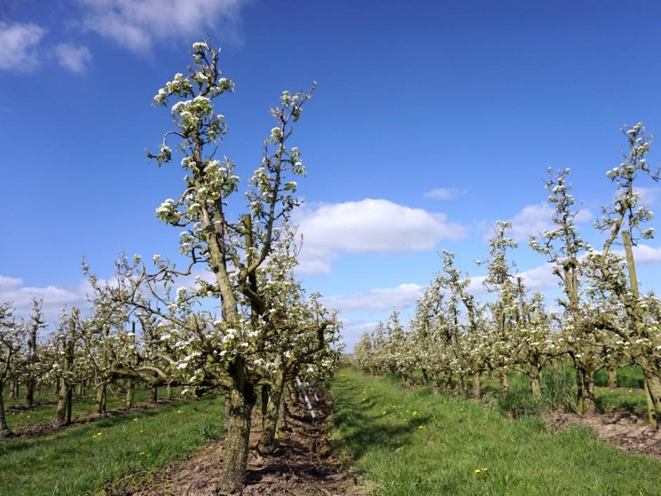 Fruitboomgaard - Bloesemtocht Buren