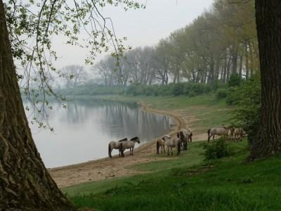Konikpaarden Bisonbaai