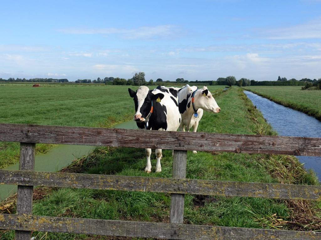 Koeien op de kade