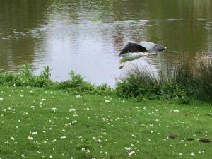 Vliegende meeuw in de aanval