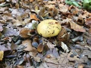 Gele paddenstoel met beukennootjes
