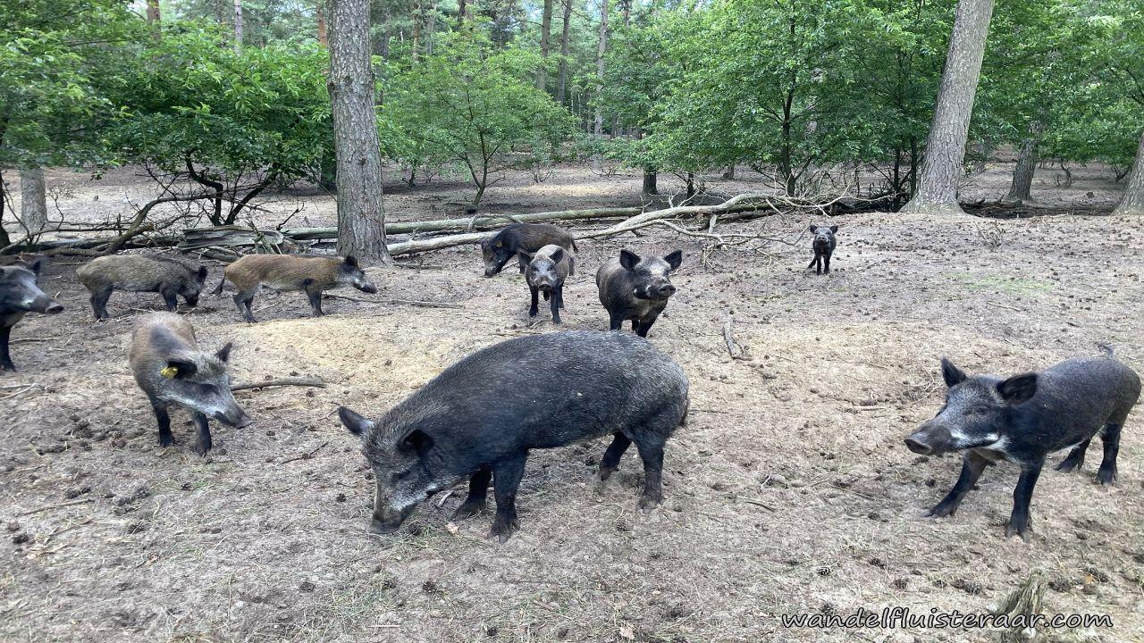 Op deze afbeelding zie je everzwijnen afkomstig van het Wild en wandelpark Molenheide in Limburg