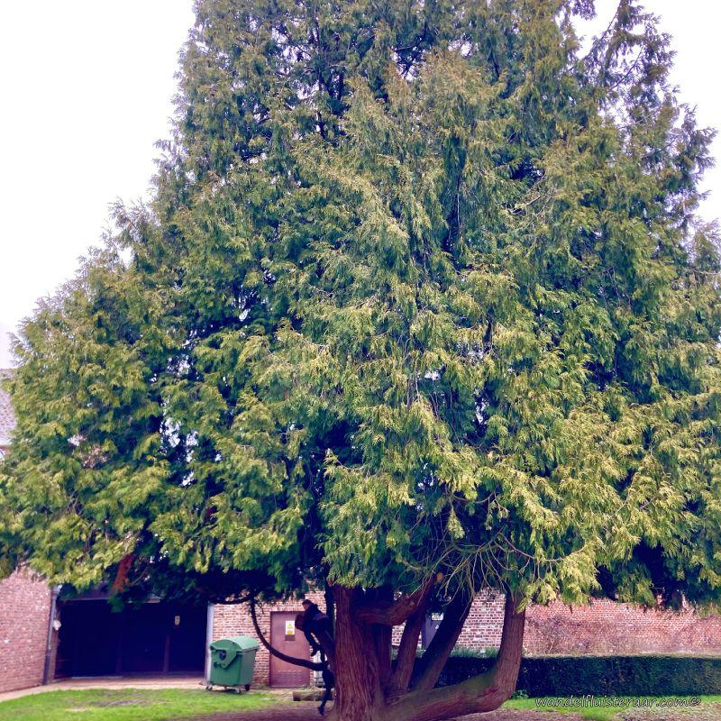 Eén van de bomen van het Baljuwtuin, deze zal je tegen komen tijdens je wandelingen in Galmaarden