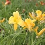 'Happy Returns' Svalt gul med limegrön hals. Doftande. 30 cm. Miniatyr, med lång blomning från maj-september.