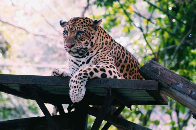 A big cat rests on a wooden platform.