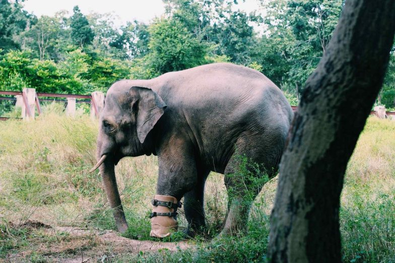 An elephant with a prosthetic leg at Phnom Tamao Wildlife Rescue Center.