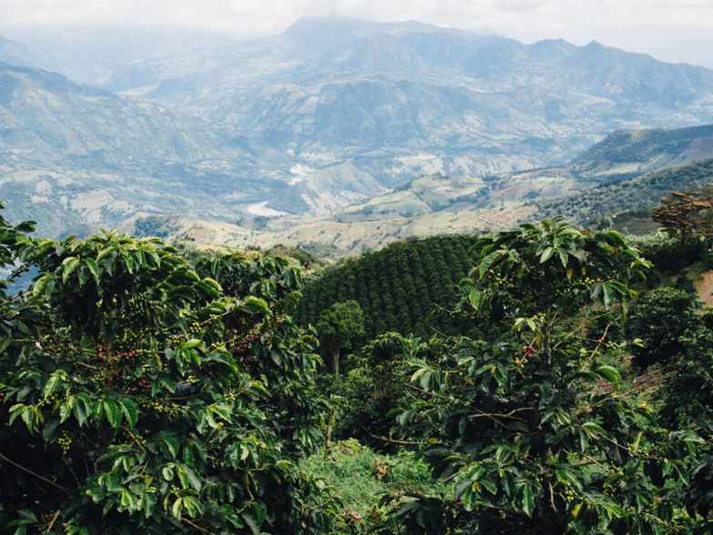 Our journey from Medellin to Jardin with LandVenture Travel was one of the highlights of our time in Colombia. Here's what a coffee tour Colombia entails. Perfect rows of coffee trees set against a backdrop of Andean mountains.