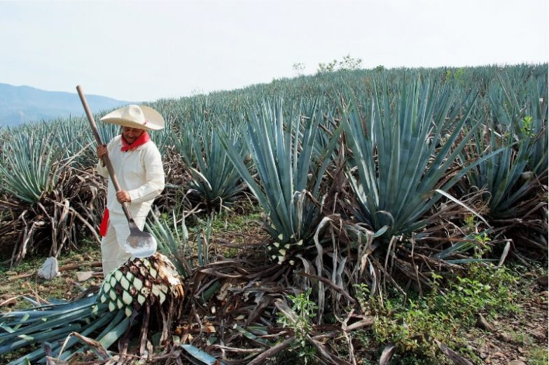 A farmer works a field of tall agave plants in Mexico.