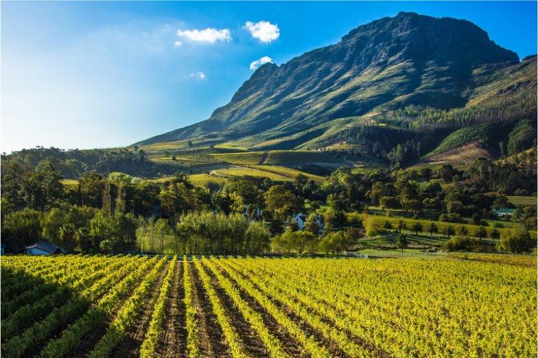 A vineyard outside Cape Town.