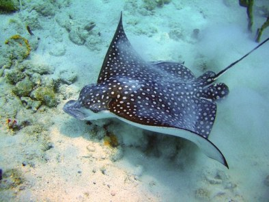 eagle ray_gallery st.thomas_1280_960