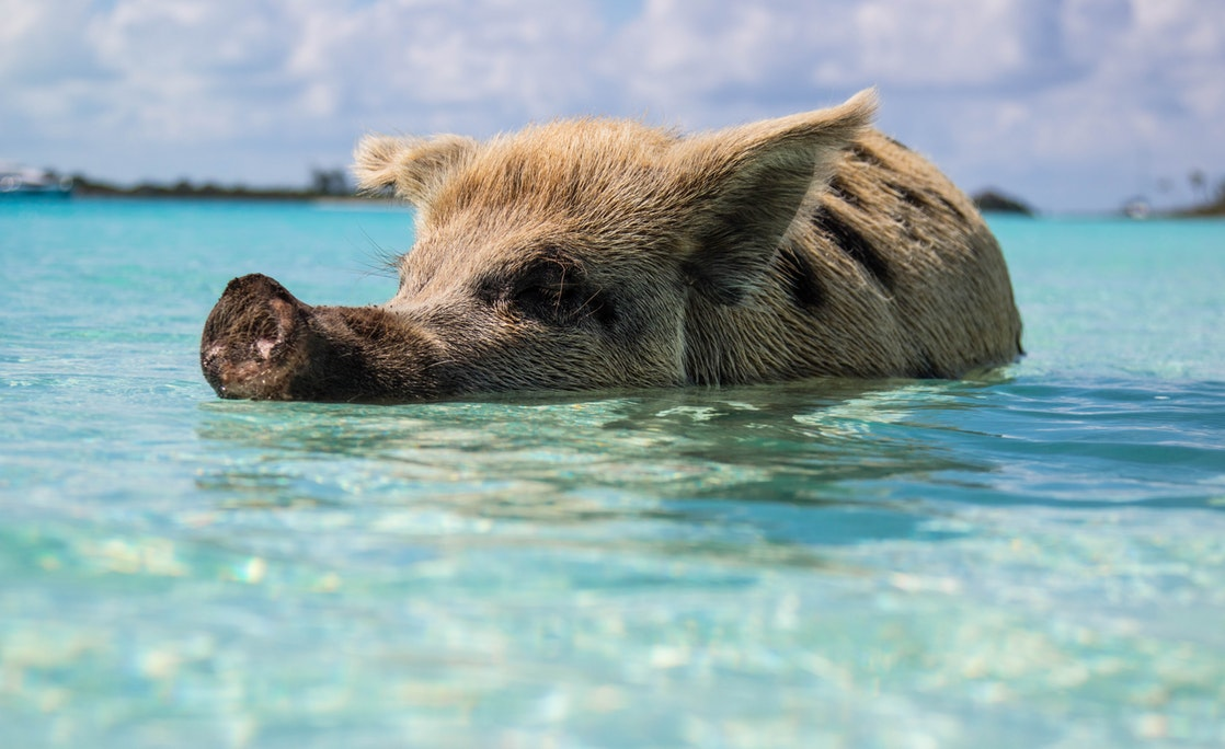 Exuma Pig