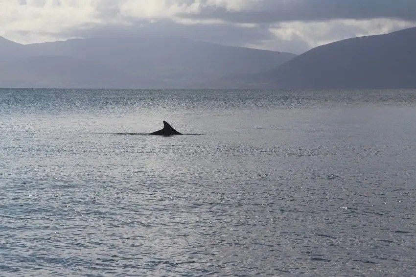 Fungie Dolphin Dingle Harbor Bay
