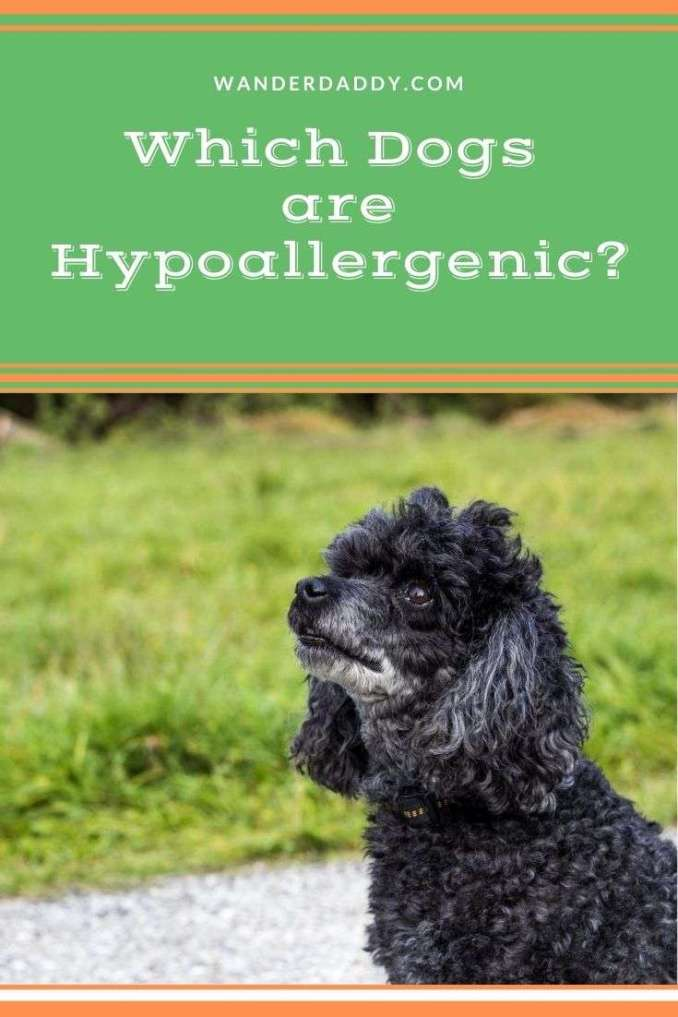 Which Dogs are Hypoallergenic