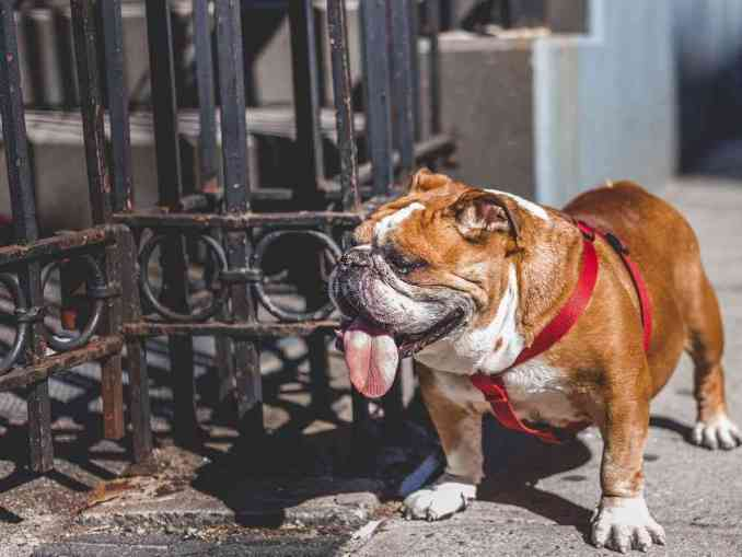 Remove term: best dog food for english bulldogs best dog food for english bulldogs