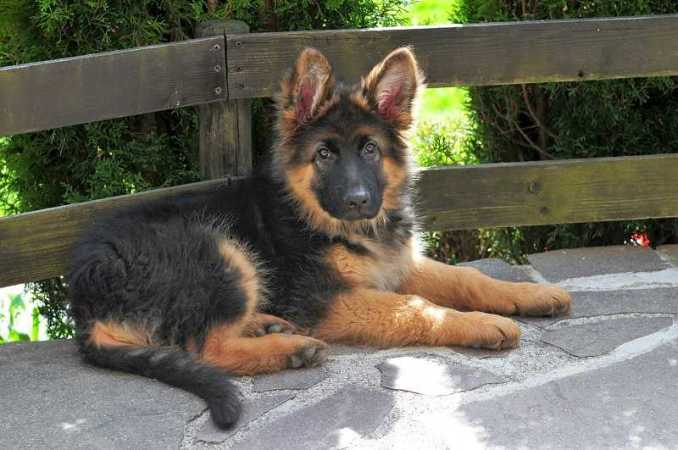 long-coat-german-shepherd