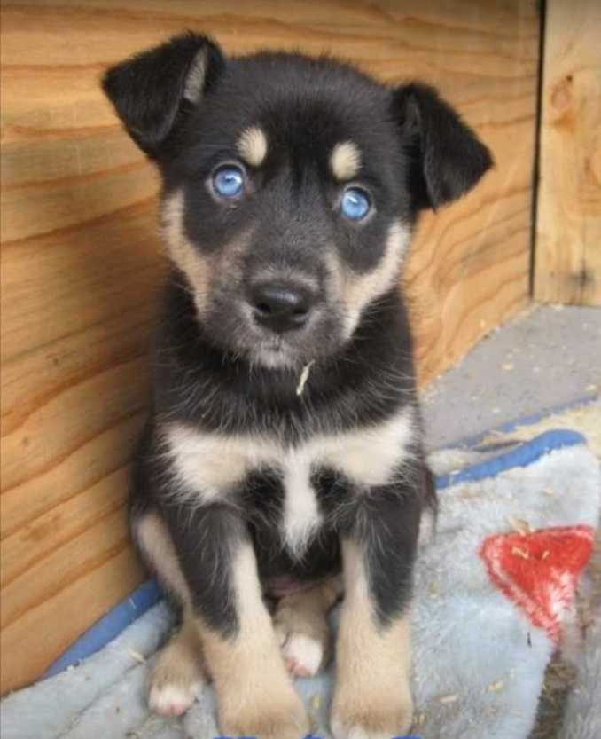 Rottweiler and Husky Mix