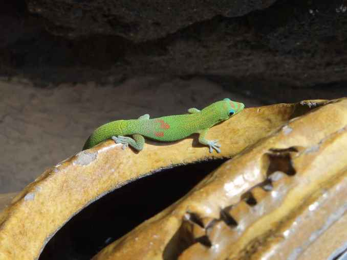 Gold-Dust Day Gecko