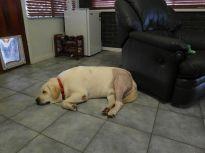 Der Hund mit seinem operierten Bein