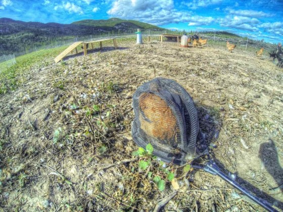 Die Hühner werden einzeln mit einem Netz gefangen