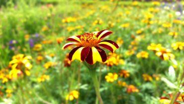 Field Of Flowers In Cornwall, England