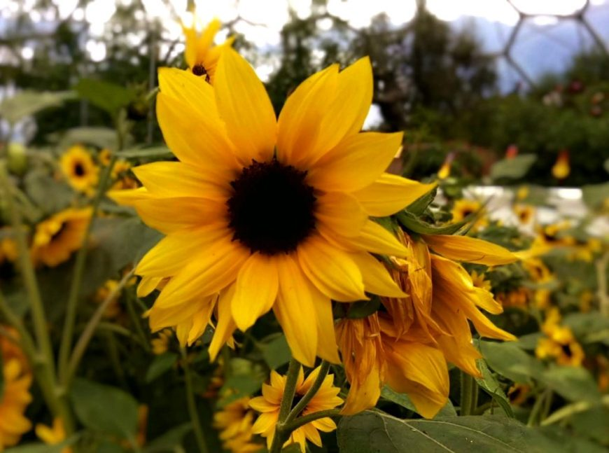 Sunflowers in Eden Project, Cornwall