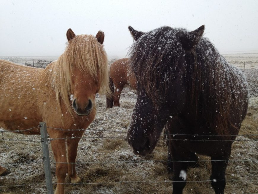 Icelandic Horses in the Golden Circle, Iceland