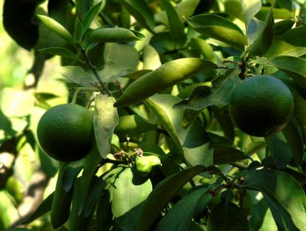Limes in Eleouthkia Park, Cyprus