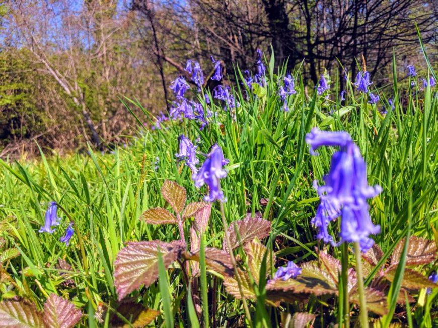 Leigh Woods Bluebells