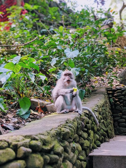 Bali Monkey eating at Ubud Monkey Forest.jpg