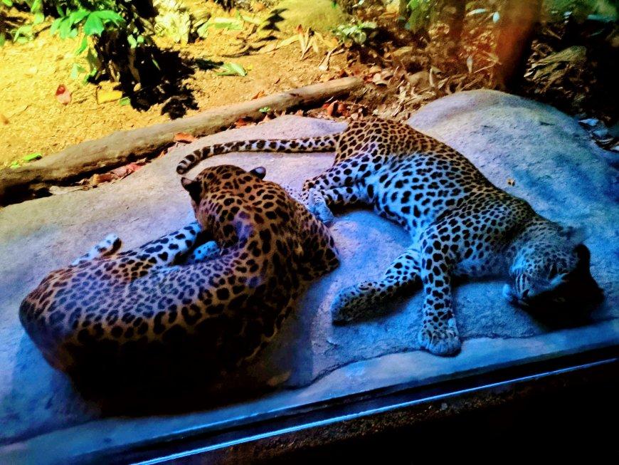 Leopards inside Singapore Night Safari