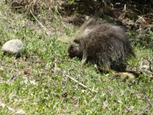 Porcupine in Banff National Park, Canada