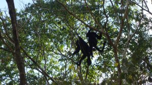 Howler Monkeys in Calakmul