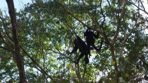 Howler Monkeys in Calakmul